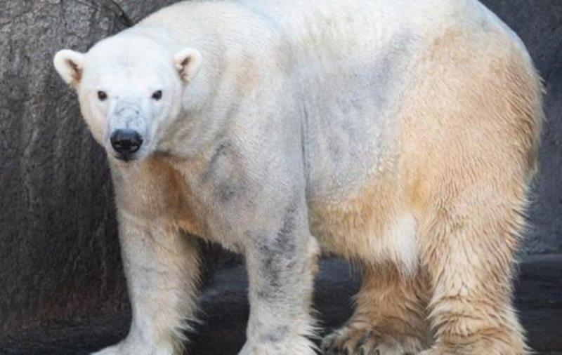 Oso polar Carolina del Norte