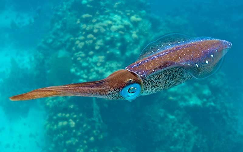 Captan-calamar-gigante