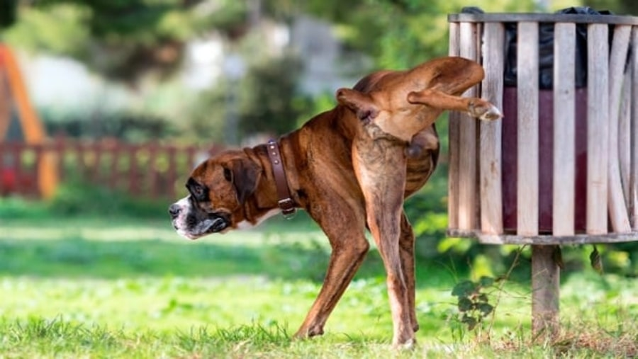 Coronavirus orina de perro