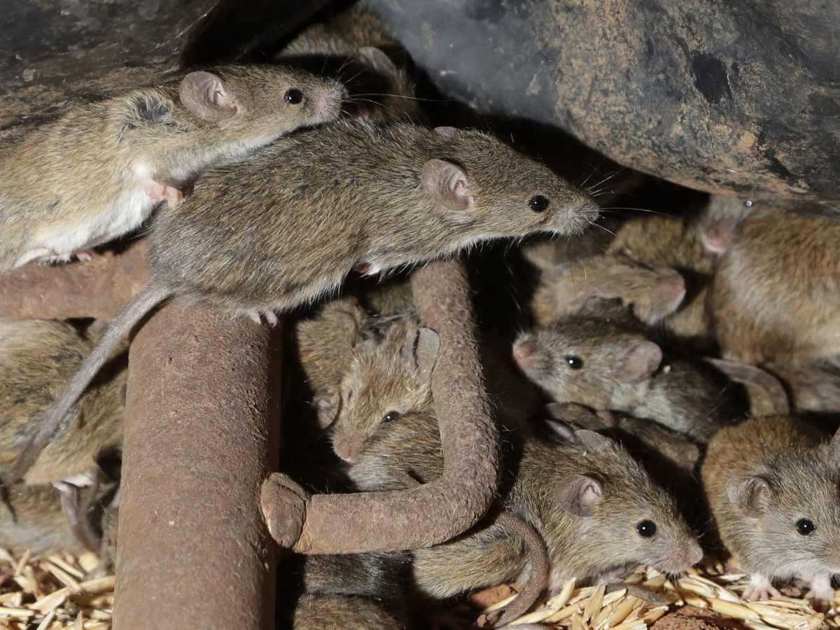 plaga-de-ratones-destructivos-invade-a-los-australianos