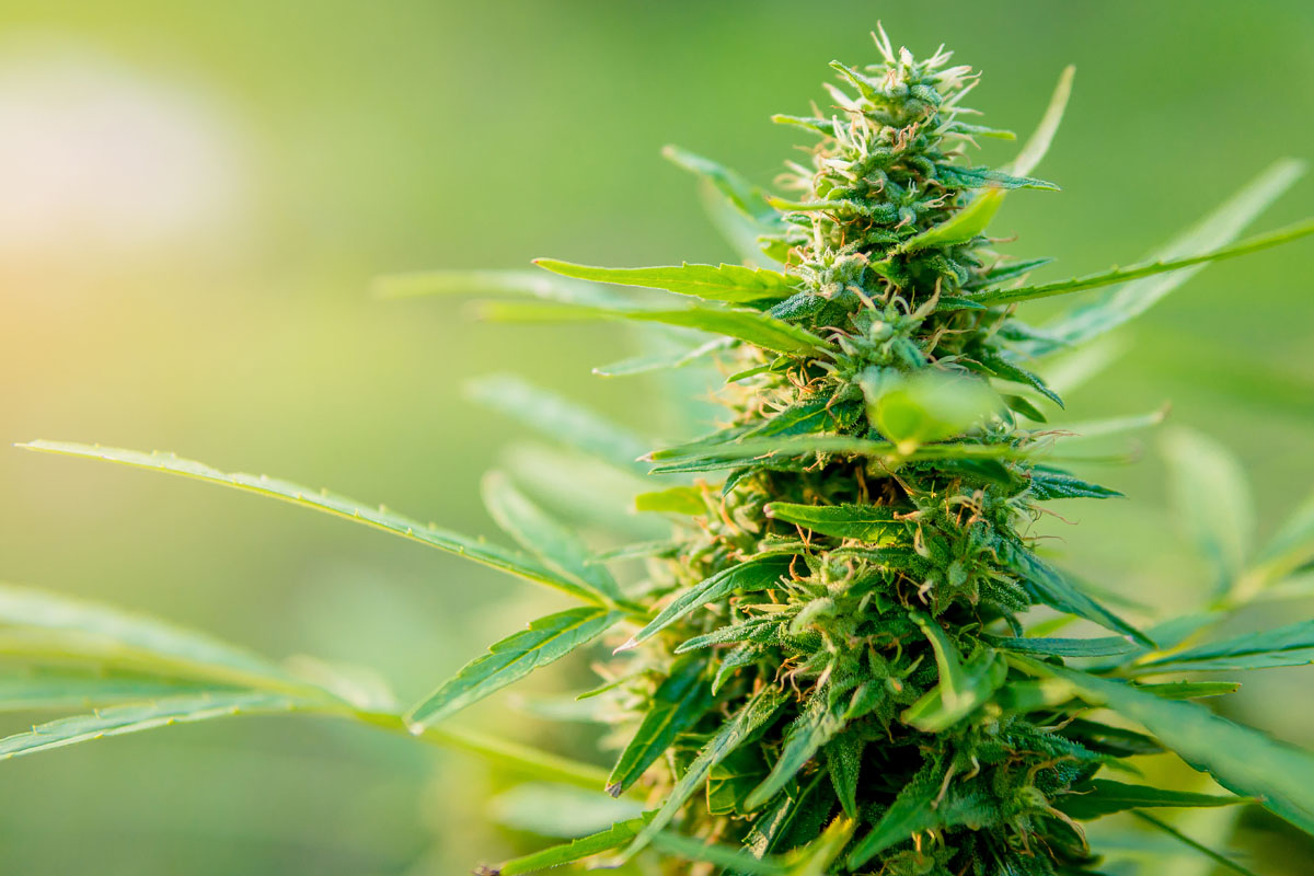 Connecticut aprueba consumo recreativo de marihuana