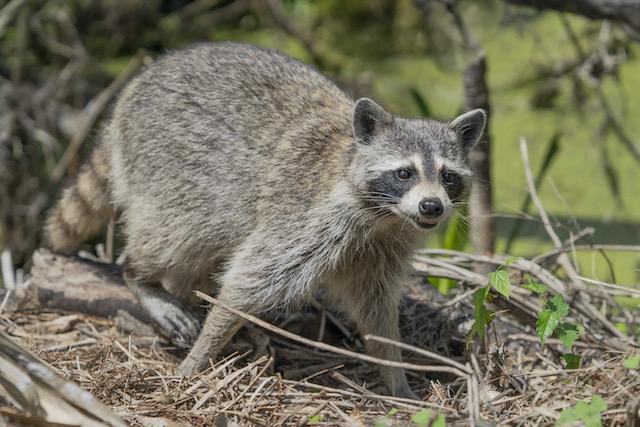 Encuentran mapache rabioso en Greensboro; cómo evitar ser expuesto a un animal con rabia