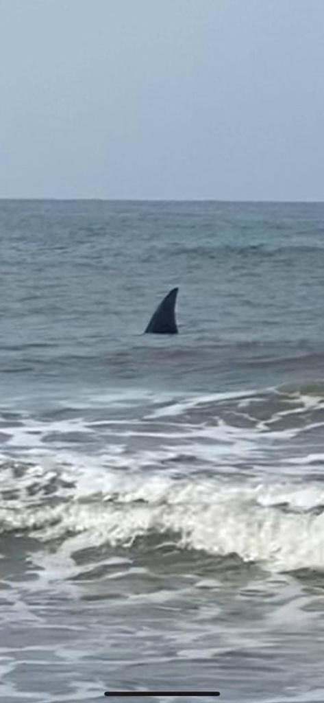 Enormes tiburones merodean playa de Carolina del Norte según autoridades 2