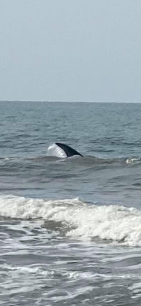 Enormes tiburones merodean playa de Carolina del Norte según autoridades 1