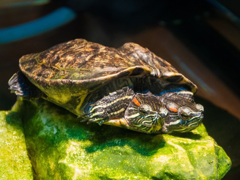Tortuga marina nace con 2 cabezas en parque estatal de Carolina del Sur
