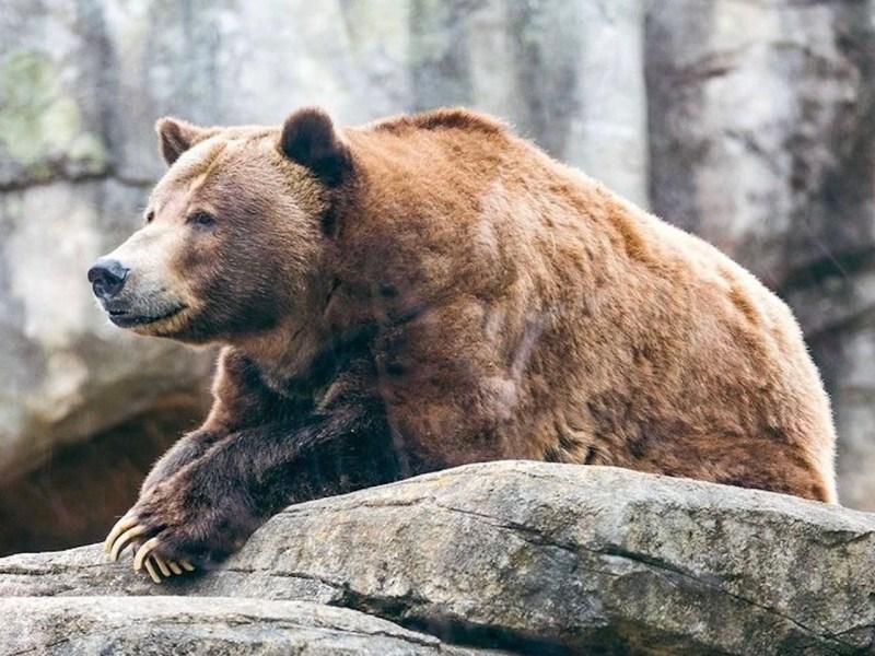 Muere el oso Tommo del zoológico de Carolina del Norte