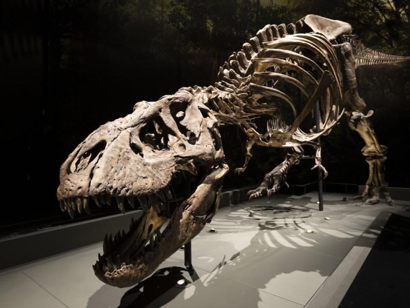 El primer Tyrannosaurus Rex recuperado al 100 % se mostrará en Raleigh