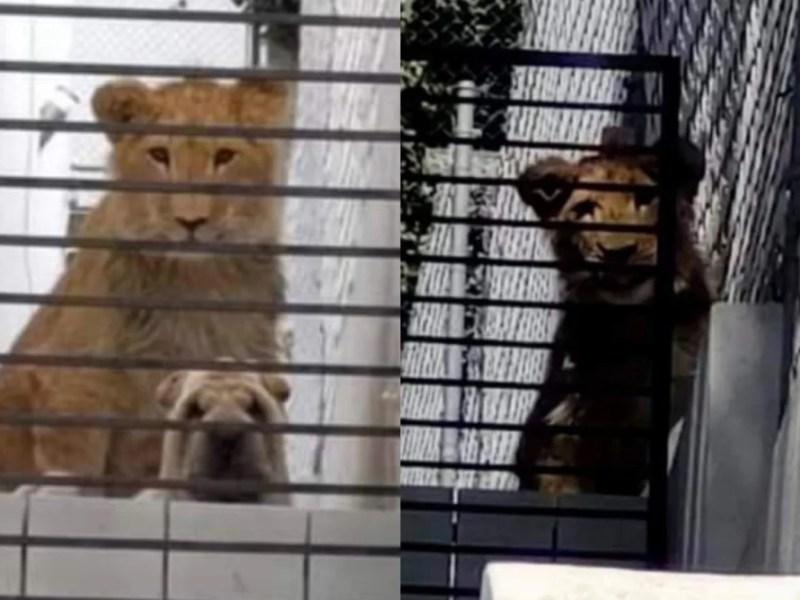Captan perrito león vivienda