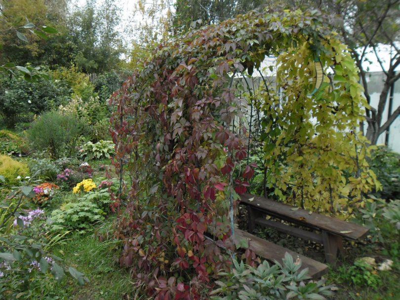 Как вырастить хмель из семян на даче?