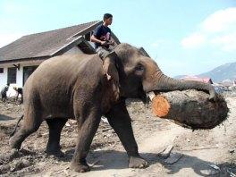 Gajah diperbantukan dalam penanggulangan korban Tsunami
