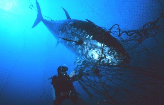 Ikan Tuna terjebak Jaring