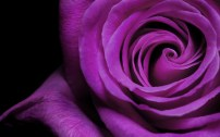 42256-rose-wallpapers-love-rose-wallpapers-purple-rose-wallpapers-roses