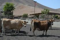 Finca de Uga cows_2