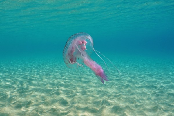 Jellyfish in Lanzarote