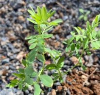 Lentil Plants