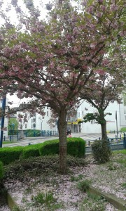 laon cerisiers en fleurs