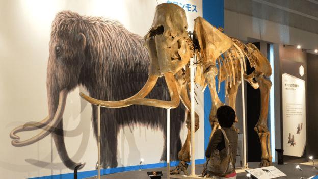 Científicos japoneses lograron reactivar células de un mamut de 28.000 años