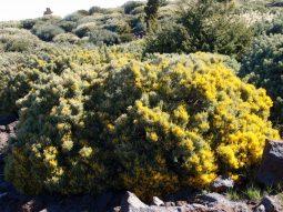 Pflanzen auf dem Roque de los Muchachos