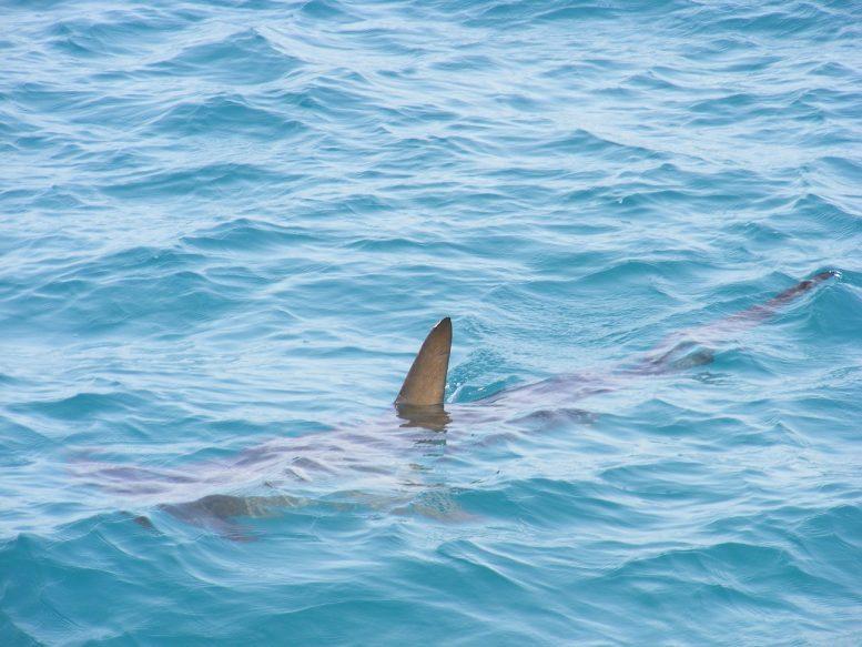 Hammerhai