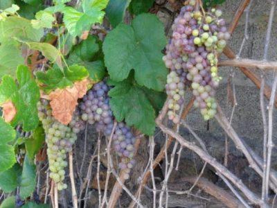 Weinrauben