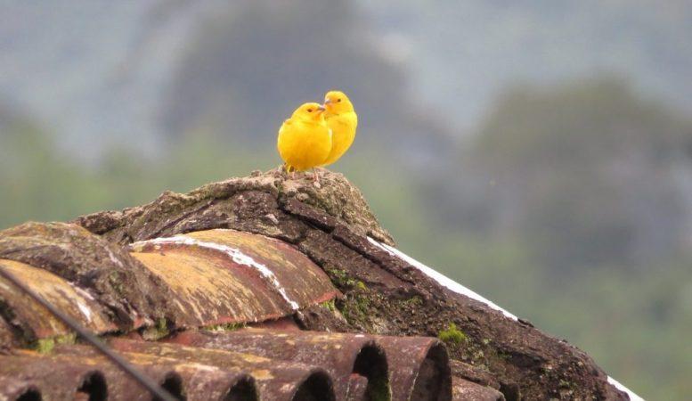 Vögel - Kanarienvogel