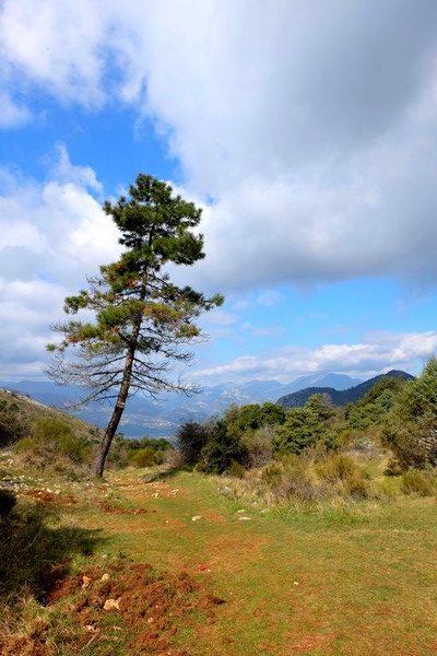 Un pin sur le sentier de randonnée du Mont Chauve