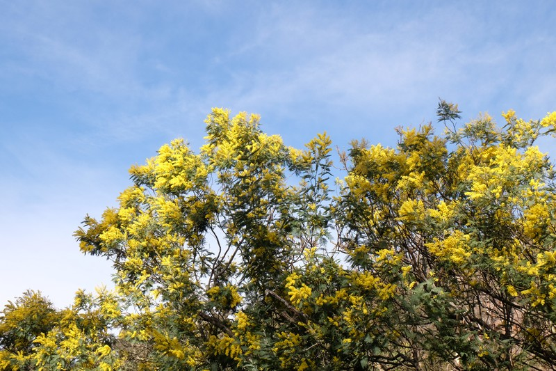 Mimosa dans le Massif de l'Estérel