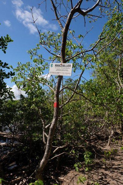 Mancenillier en Martinique