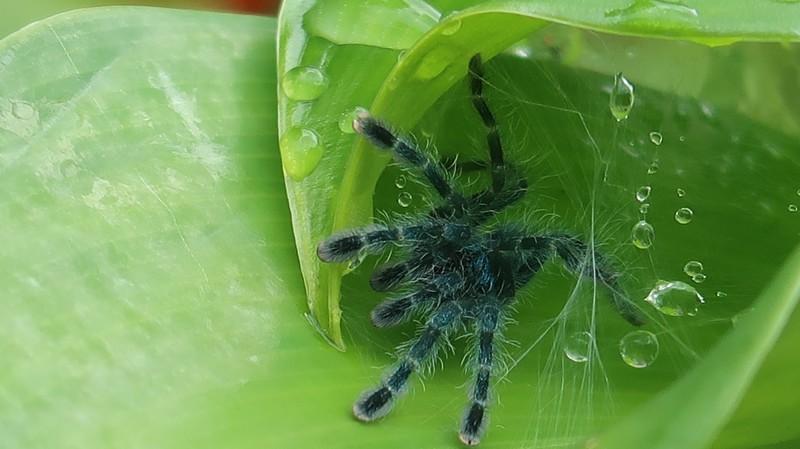 Araignée Matoutou en Martinique