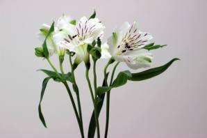 Alstroemeria (2)