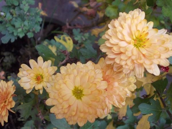 crizantema_4
