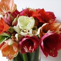 Amaryllis, floarea lunii decembrie