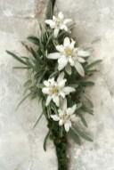 Edelweiß Floare de colt