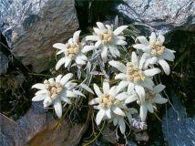 Floarea Reginei