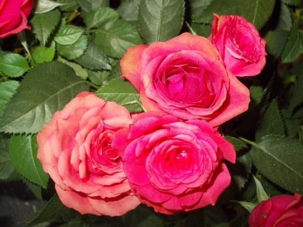 Pastele trandafirilor