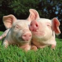 Confirmare Pesta Porcină Africană la Homorod