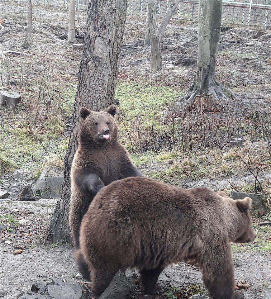 ursul de grăsime ajută dacă ochii varicose