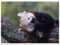 Cliquez pour adopter les pandas roux !