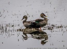 A pair of Ducks