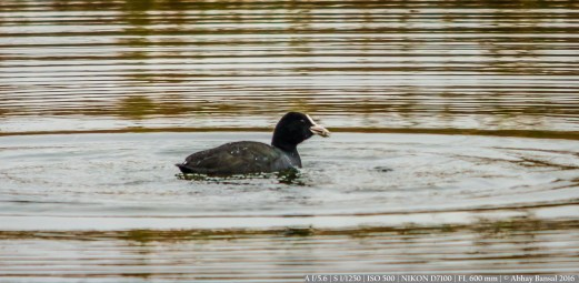 Duck's Swim