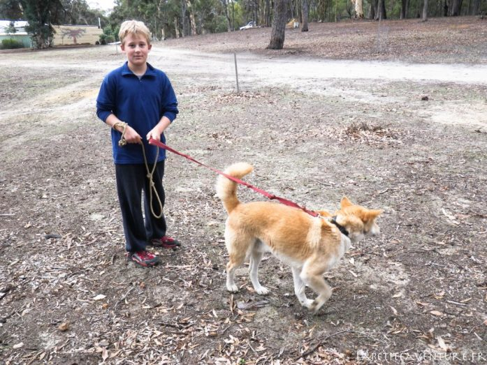 Dingo en Australie