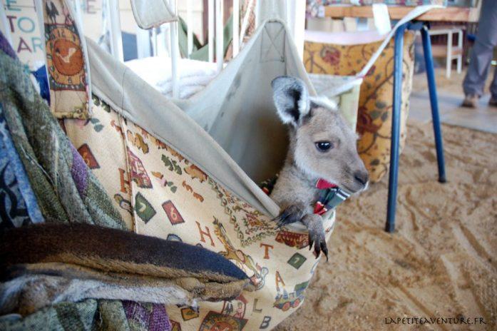 Kangourou dans la nursery