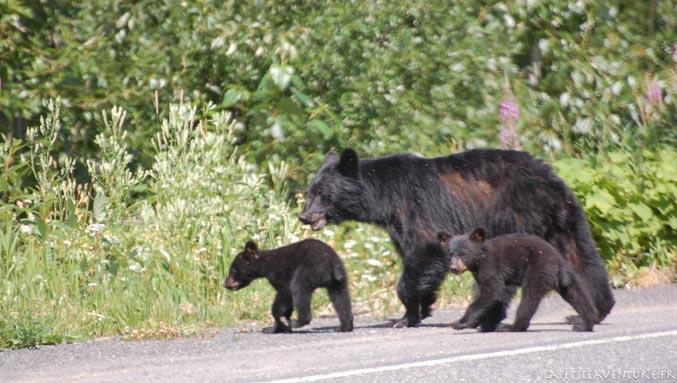 ours brun en colombie britannique