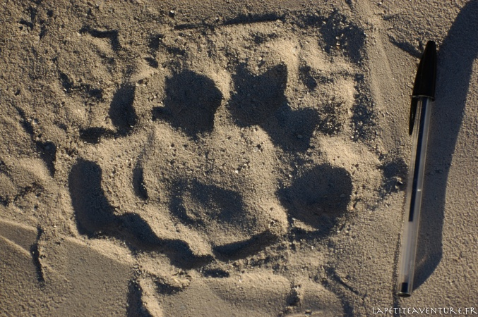 trace de lion du Kalahari