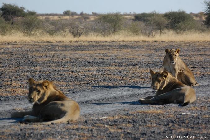 lions allongés dans le Kalahari