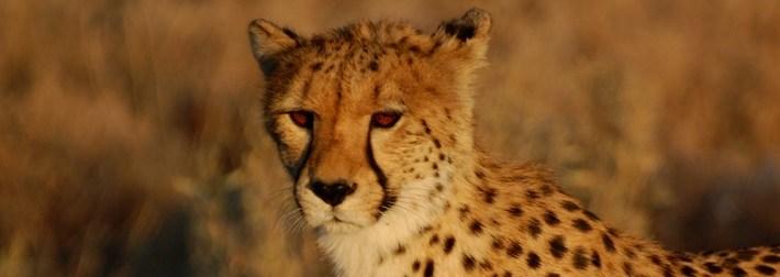 tête de guépard du Kalahari