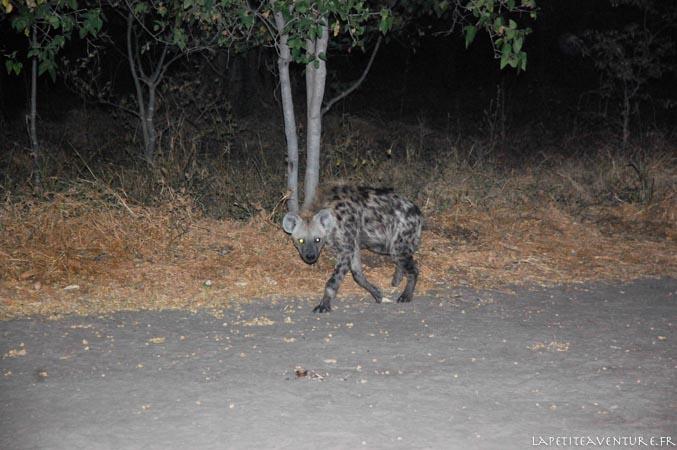 hyène le soir à moremi