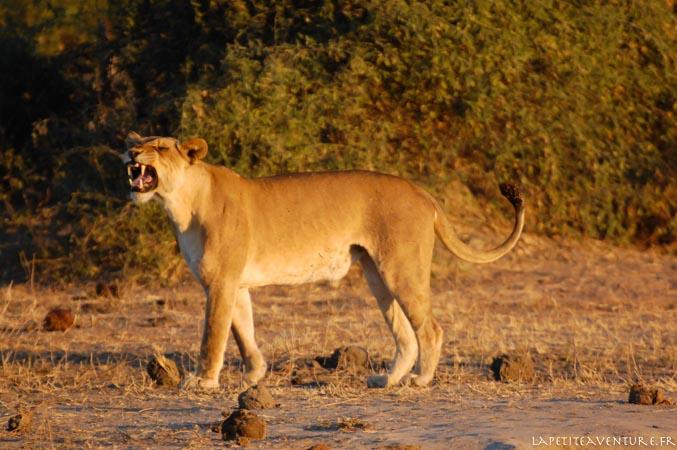 rugissement de lionne au botswana