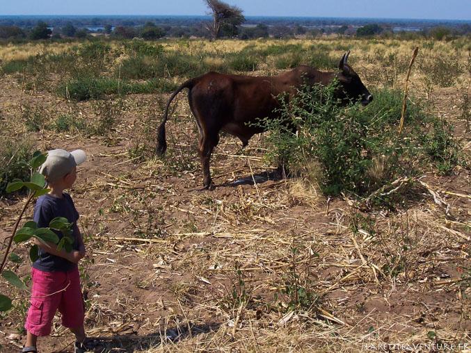 Zébu en zambie