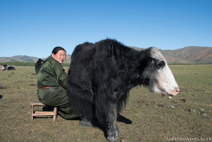 traite d'un yack en Mongolie